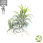 TILLANDSIA ionantha with one pup